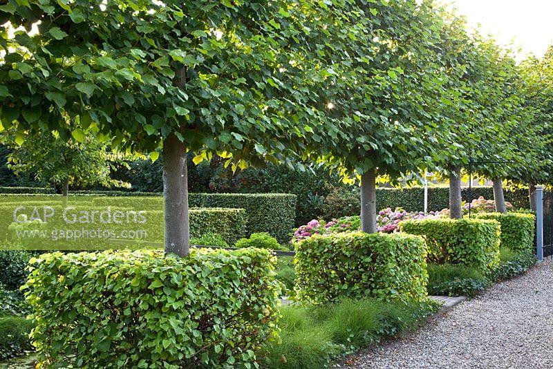 Gap Gardens Pleached Tilia Cordata Lime Tree In Formal
