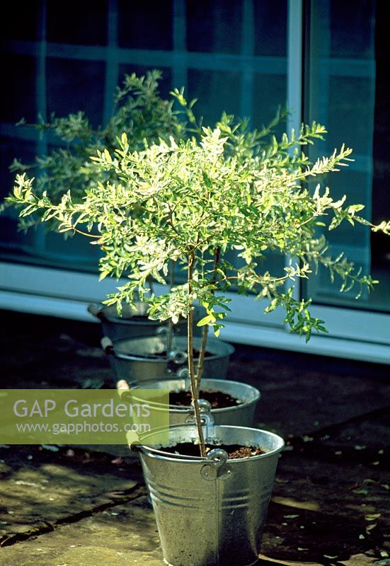 gap gardens small standard salix integra 39 flamingo 39 trees in galvanised pots image no. Black Bedroom Furniture Sets. Home Design Ideas