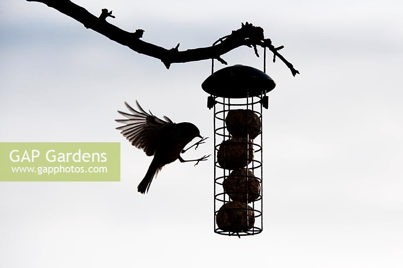 Erithacus Rubecula - Robin flying on to suet ball feeder. Silhouette