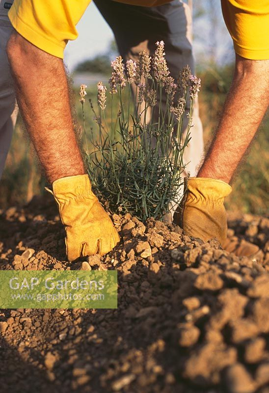 Planting Lavenders Step by Step. Step 4. Lavenders don't like getting their feet wet.  If your soil is heavy, plant on a ridge about 20cm (8in) high to keep most of the plant's roots out of the wet soil in the winter.