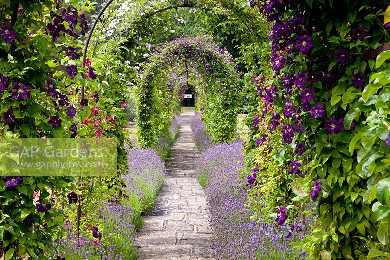 Pergola with Clematis viticella 'Etoile Violette' underplanted with Lavandula - Lavender