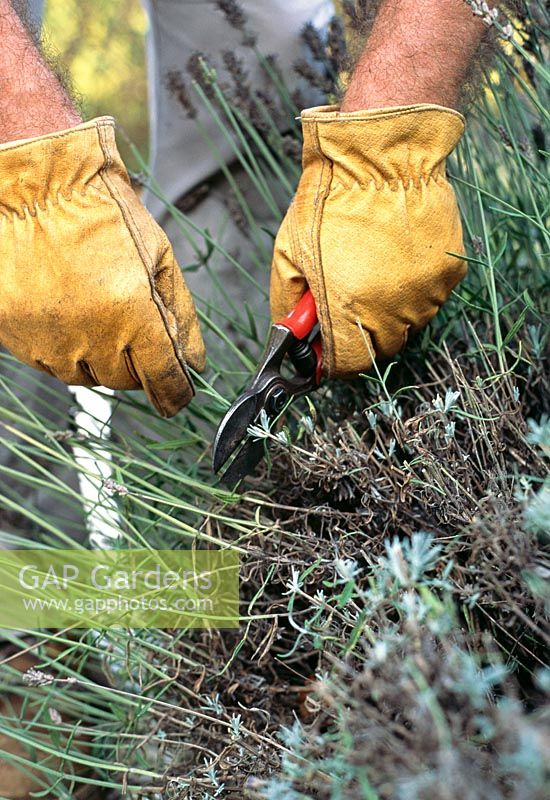 Pruning Lavandula - Lavender. Prune stems back to a visible shoot.