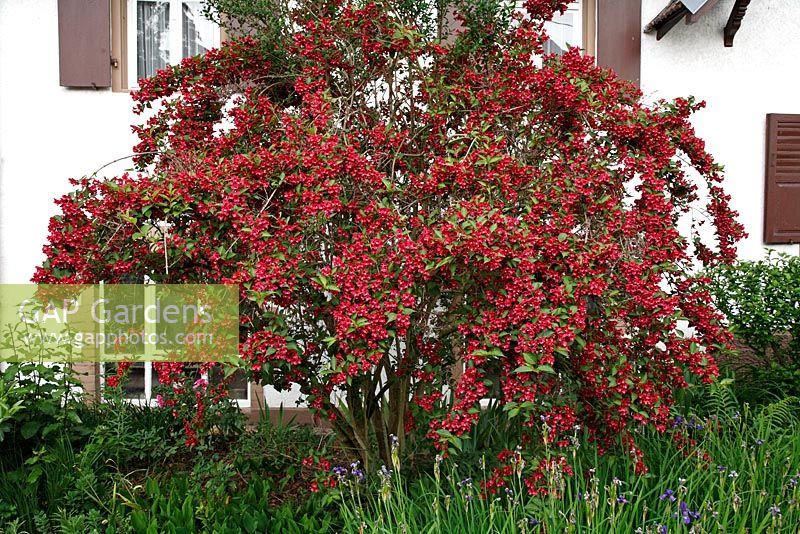 gap gardens weigela 39 bristol ruby 39 image no 0176906 photo by martin staffler. Black Bedroom Furniture Sets. Home Design Ideas