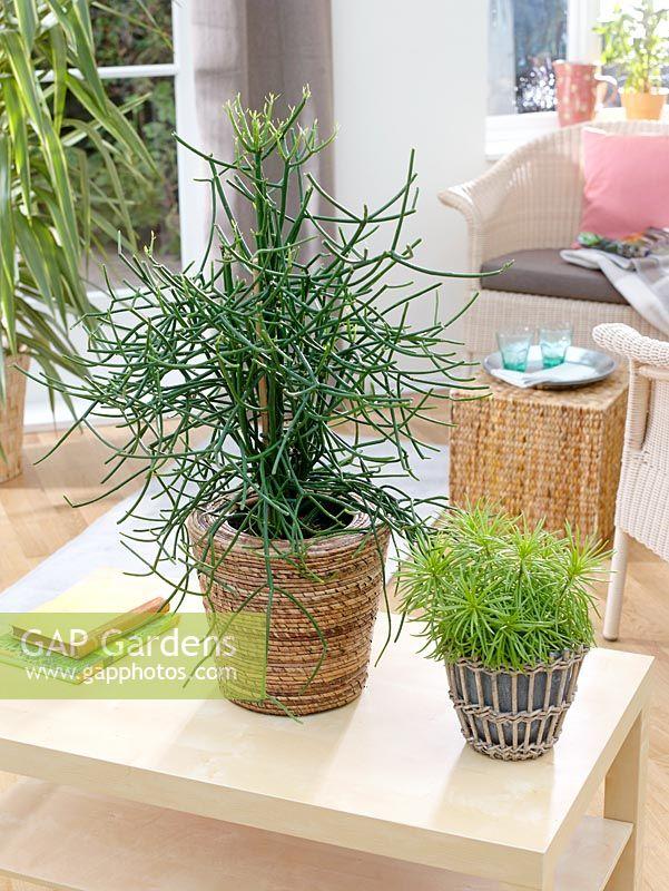 gap gardens euphorbia tirucalli senecio himalaya. Black Bedroom Furniture Sets. Home Design Ideas