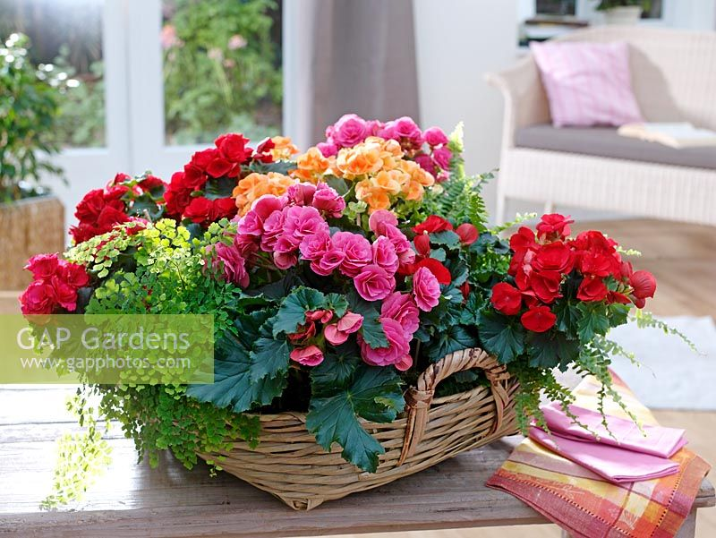Basket of Begonia elatior, Adiantum 'Fragrans' and Nephrolepis on coffee table