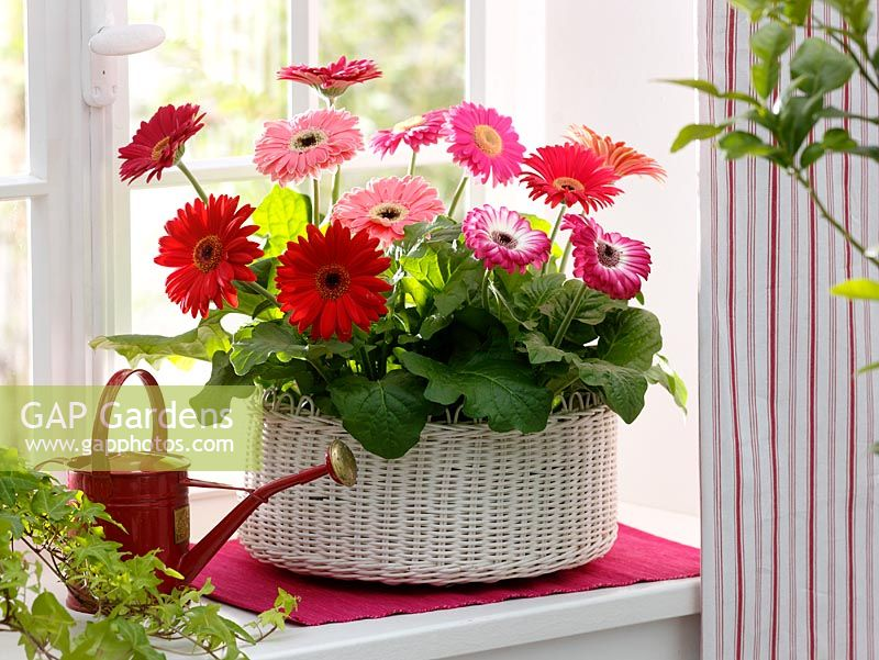 Gerbera in white wicker basket