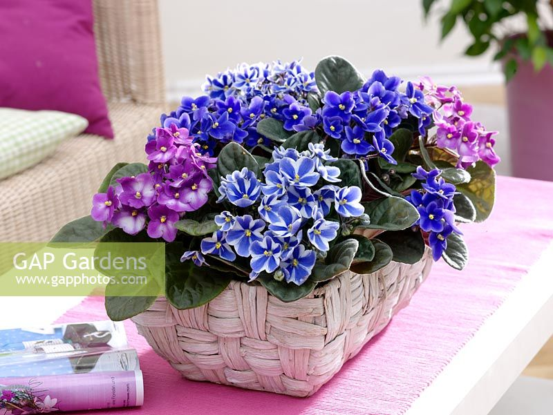 Saintpaulia ionantha - African Violets, in woven basket on coffee table