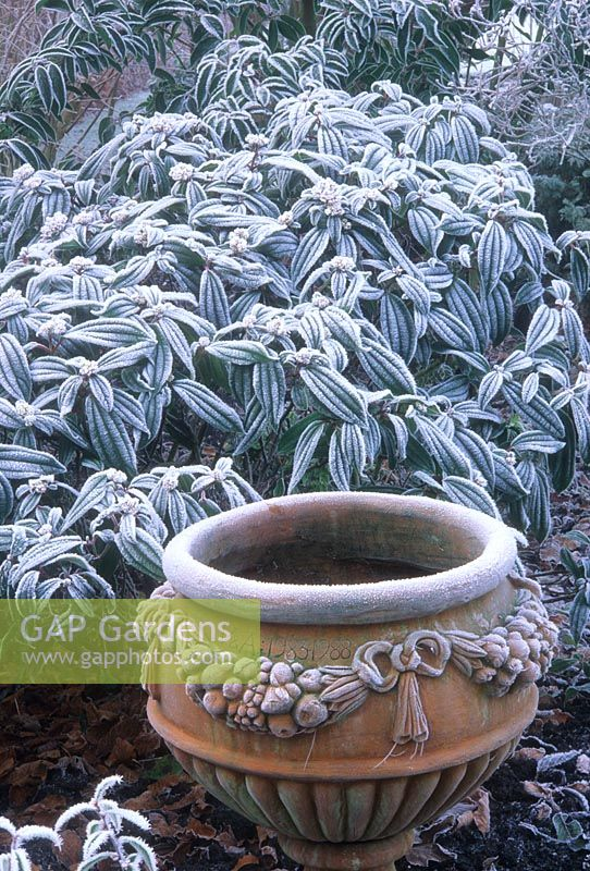 Viburnum davidii and ornate urn in frost. Manor House Bledlow