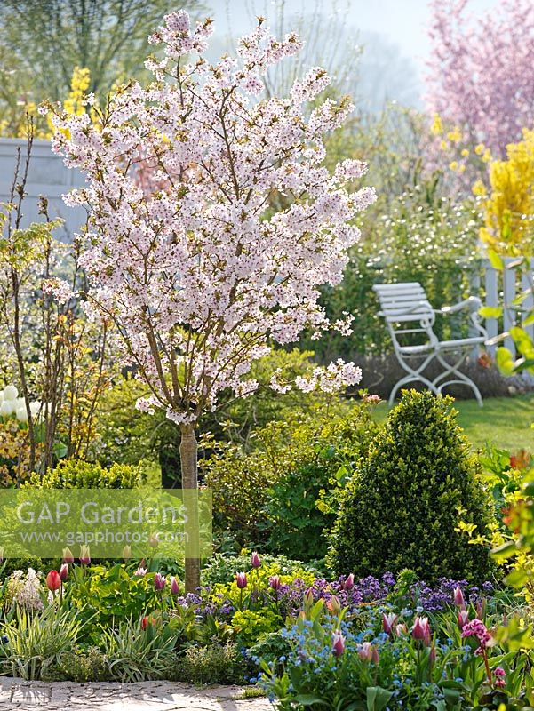 gap gardens spring border of prunus incisa 39 kojo no mai. Black Bedroom Furniture Sets. Home Design Ideas