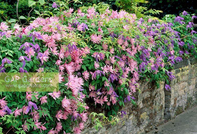gap gardens clematis 39 markhams pink 39 and 39 frances rivis. Black Bedroom Furniture Sets. Home Design Ideas