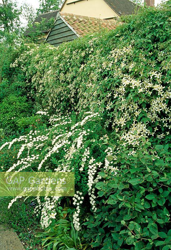 gap gardens clematis montana var wilsonii in mixed. Black Bedroom Furniture Sets. Home Design Ideas