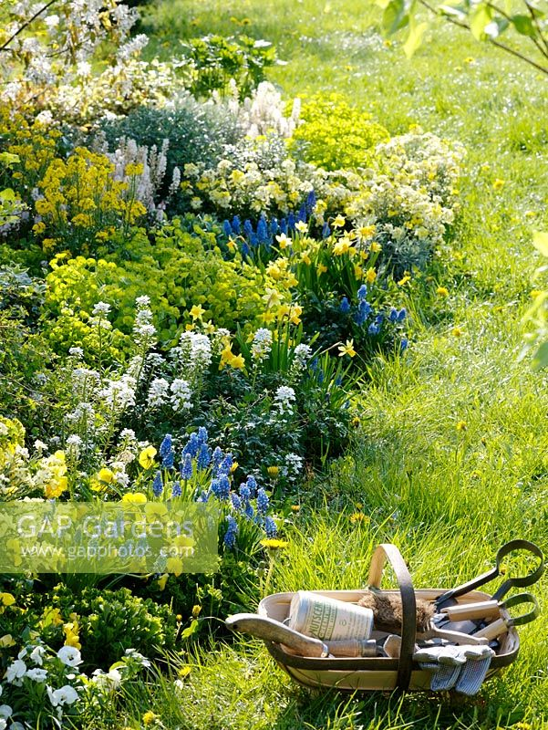 Erysimum, Iberis, Euphorbia, Tiarella, Muscari, Narcissus, and Viola in spring border with trug.