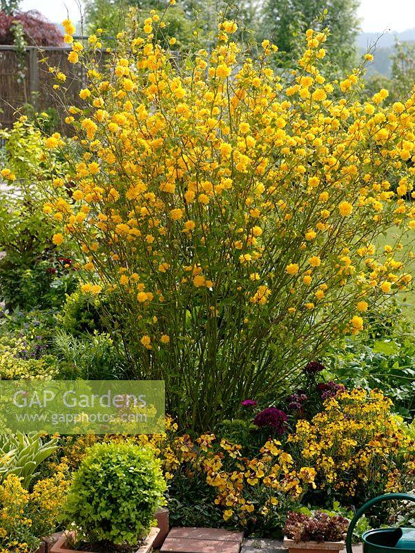 gap gardens spring border of kerria japonica 39 pleniflora 39 erysimum and buxus image no. Black Bedroom Furniture Sets. Home Design Ideas