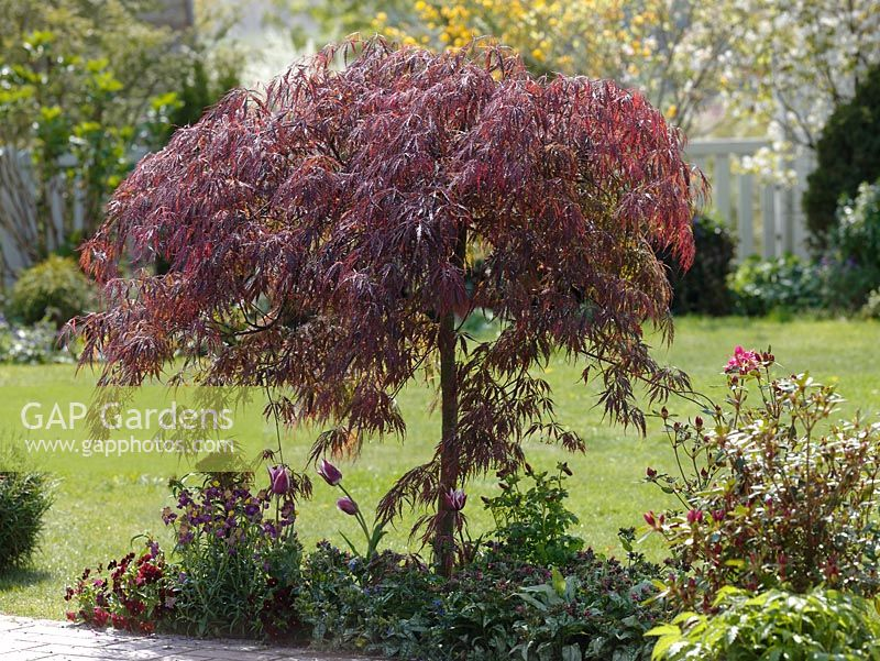 gap gardens spring border of acer palmatum 39 dissectum garnet 39 underplanted with pulmonaria. Black Bedroom Furniture Sets. Home Design Ideas