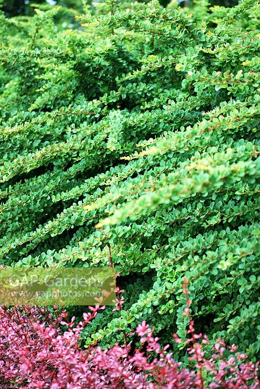 Green carpet plant home plan - Cotoneaster dammeri green carpet ...