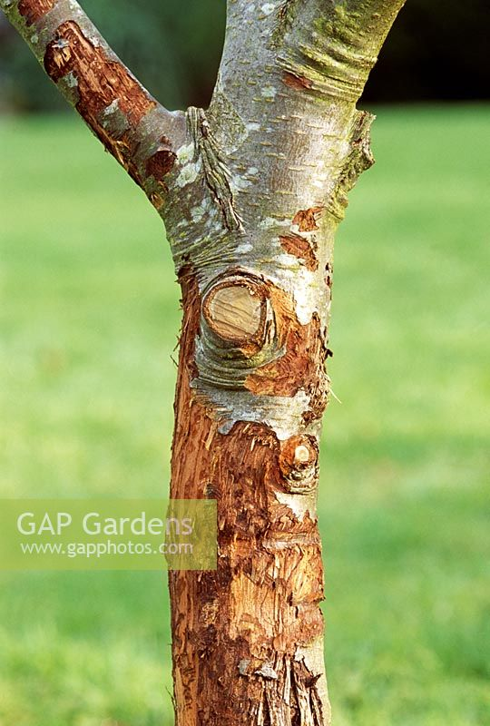 Rodent damage on Malus - Apple tree trunk