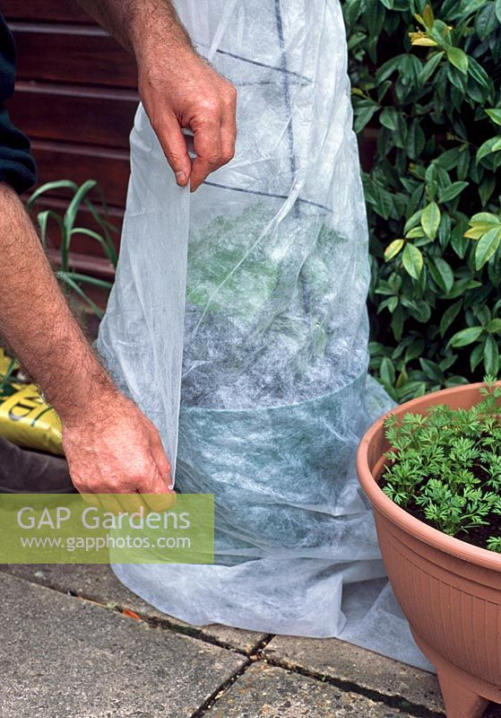 Winter protection. If conditions are overly cool or windy, wrap horticultural fleece around your Pea or Bean plants for a few days to prevent the wind damaging their leaves or stems.