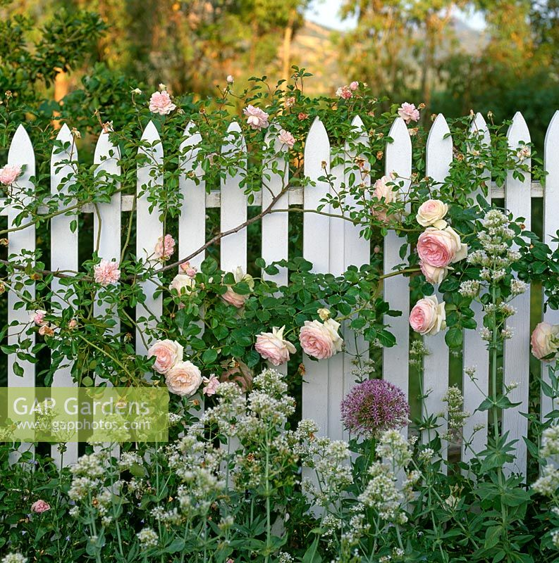Gap Gardens White Picket Fence With Roses Centranthus