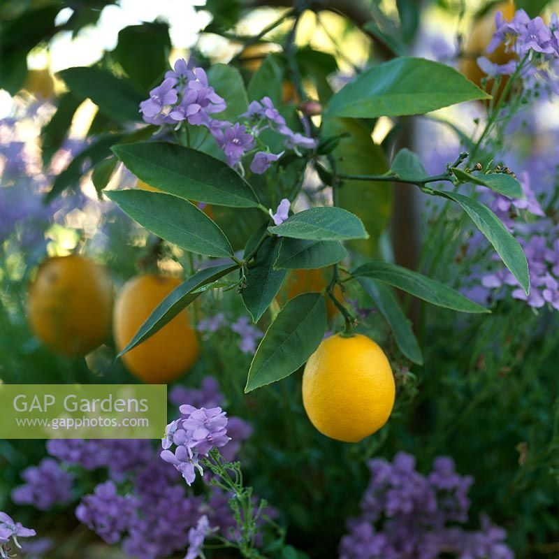 Citrus limon - Lemon tree underplanted with purple flowers. Northern California, USA