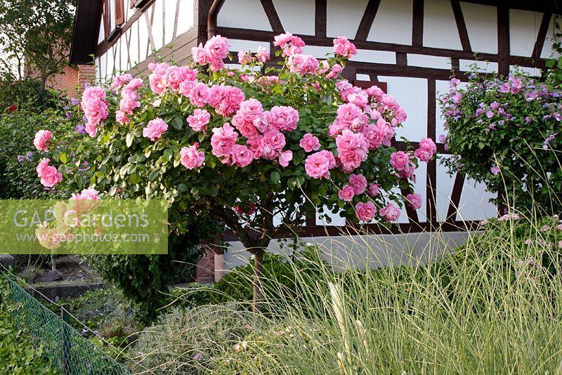 gap gardens rosa 39 bonica 82 39 in country garden image. Black Bedroom Furniture Sets. Home Design Ideas