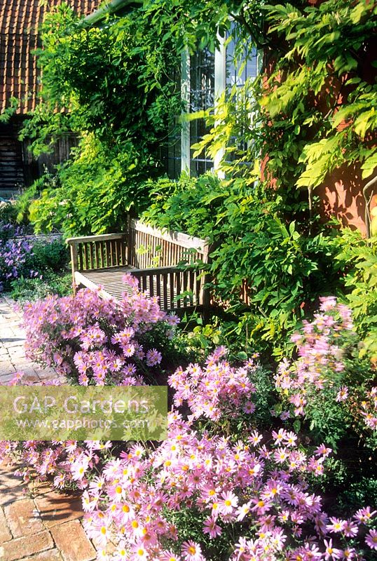 The cottage garden in late summer with Wisteria trained on farm building and Chrysanthemum 'Clara Curtis' in border