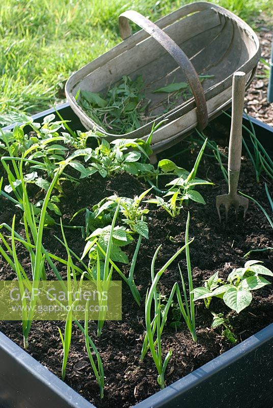 Weeding small vegetable bed with Allium - Onions and Solanum - Potatoes