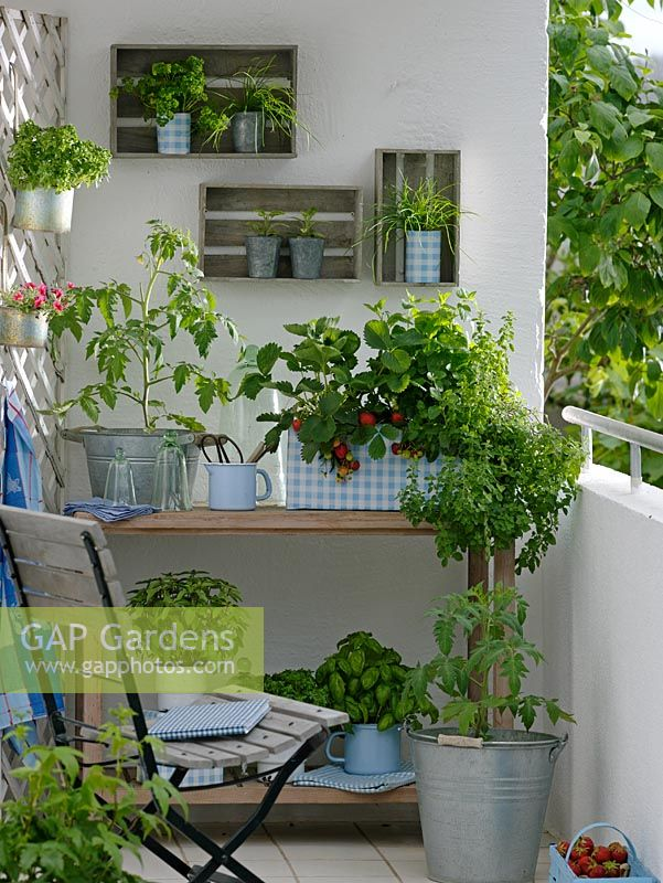 Container garden on balcony. Lycopersicon - Tomatoes in zinc bucket. Pots of Fragaria - Strawberries, Origanum Oregano, Melissa - Balm, Ocimum- Basil, Allium schoenoprasum - Chives, Petroselinum - Parsley and Salvia - Sage