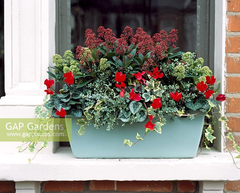 Window box with Skimmia, Hedera - Ivy and Cyclamen
