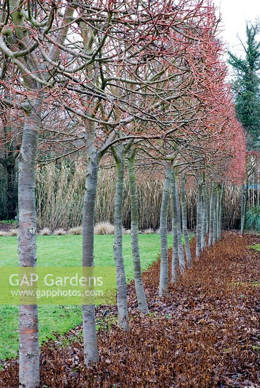 Tilia cordata 'Winter Orange' underplanted with Ceratostigma plumbaginoides at RHS Wisley