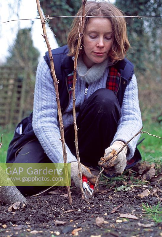 Pruning raspberry canes - Prune old branches close to soil level to encourage strong shoots from the base