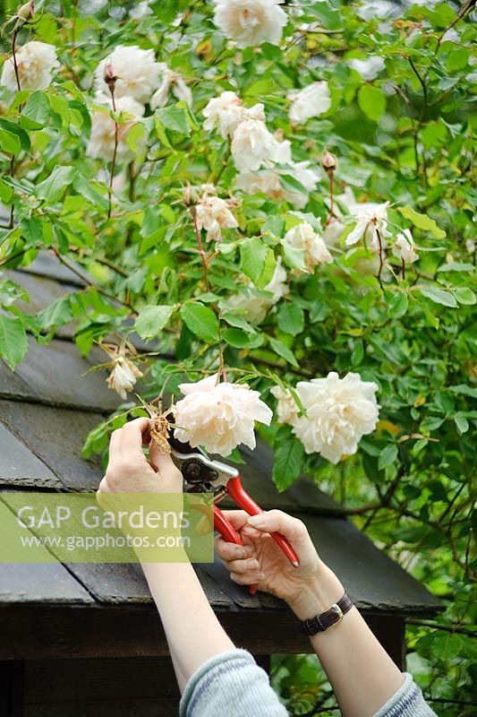 Dead heading Rosa 'Madame Alfred Carriere'