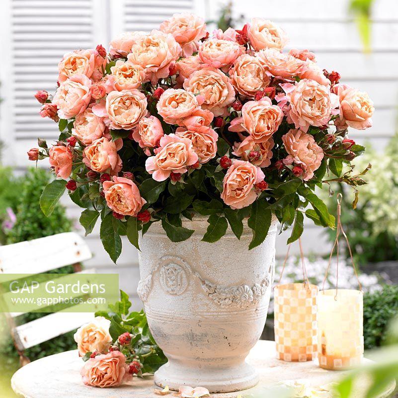 gap gardens rosa 39 marie curie 39 in vase image no. Black Bedroom Furniture Sets. Home Design Ideas