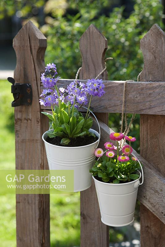 Primula denticulata and Bellis perennis in white pots, hanging from a wooden garden gate
