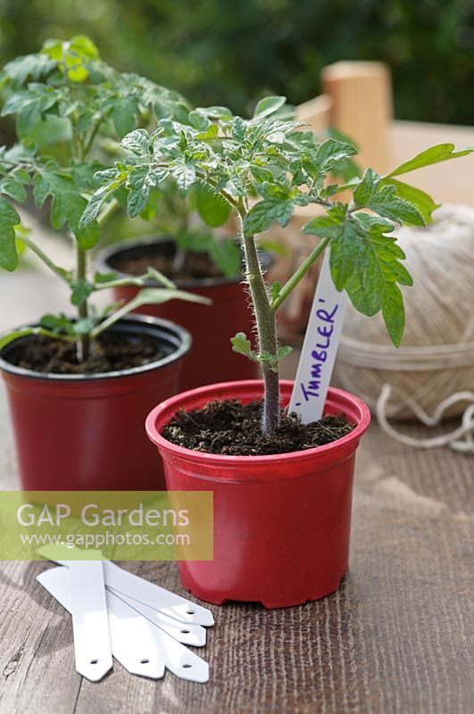 Tomato seedlings 'Tumbler' and 'Black Cherry' with white plant labels