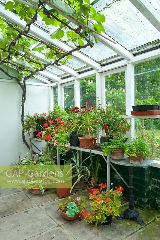 Conservatory with Pelargoniums, Fuchsias and succulents on staging and shelves, grapevine trained along rafters