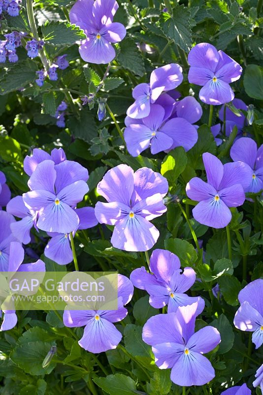 Viola 'Eastgrove Blue'