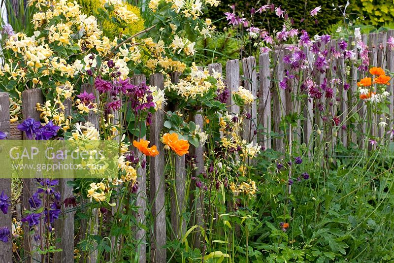 Wooden fence with Aquilegia, Papaver and Lonicera caprifolium
