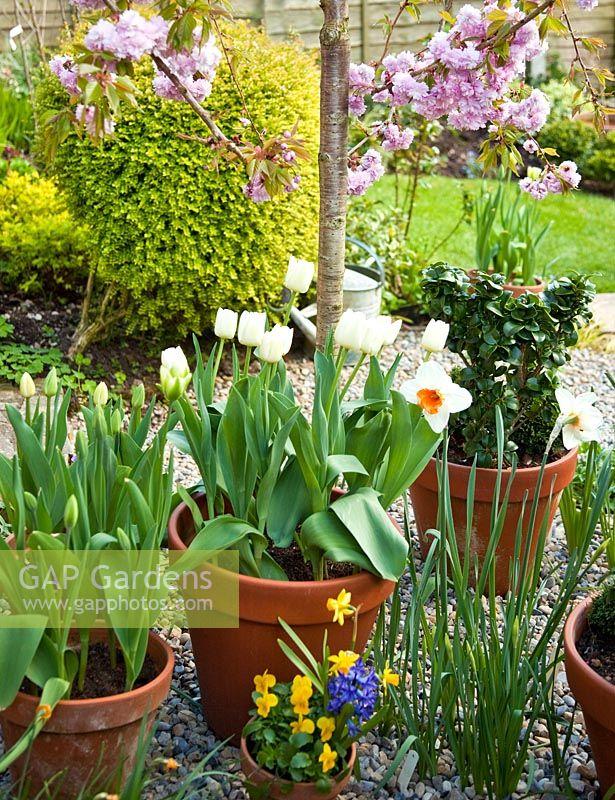 GAP Gardens - Prunus \'Kiku-Shidare-Zakura\', terracotta pots of ...