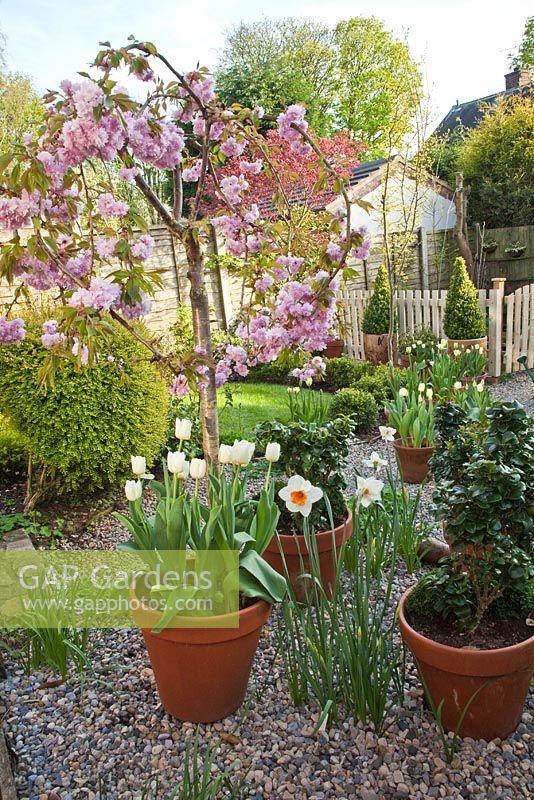 GAP Gardens - Spring garden with Prunus \'Kiku-Shidare-Zakura\' in ...
