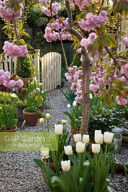 GAP Gardens - Prunus \'Kiku-Shidare-Zakura\' in blossom, terracotta ...