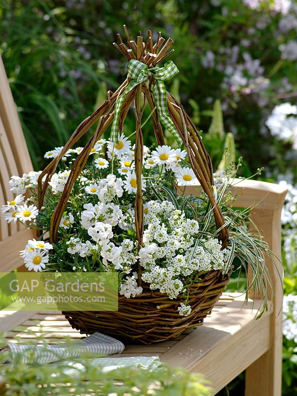 Making a hanging basket from woven willow. The finished basket planted with Lobularia 'Snow Princess' syn. Alyssum, Argyranthemum 'Stella 2000' - Maguerites, Nemesia Karoo 'White', Carex conica 'Anago' - Sedge
