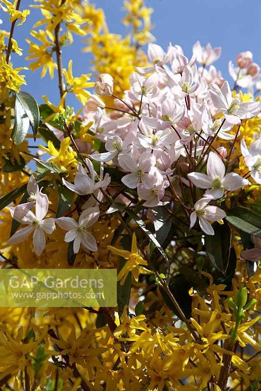 Forsythia and Clematis montana flowers intertwined.