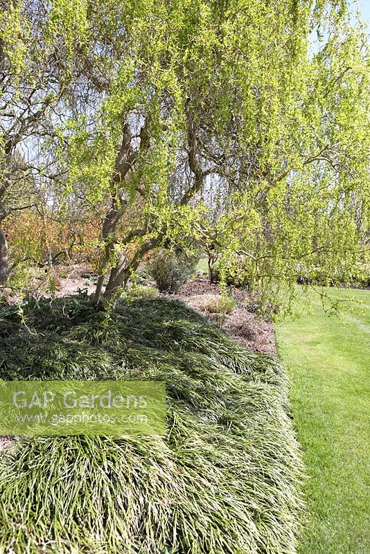 Salix 'Erythroflexuosa' underplanted with Ophiopogon japonicus 'Compactus'
