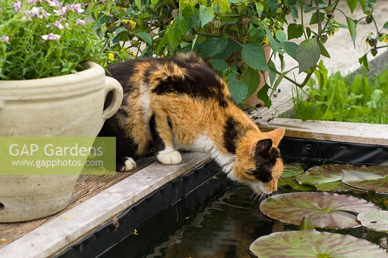 Cat drinking from garden pond