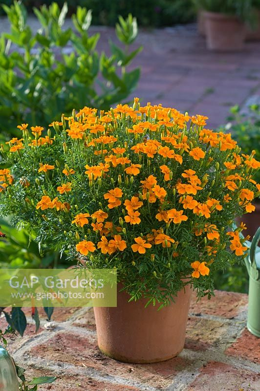 Tagetes tenuifolia 'Orange Gem' in terracotta pot