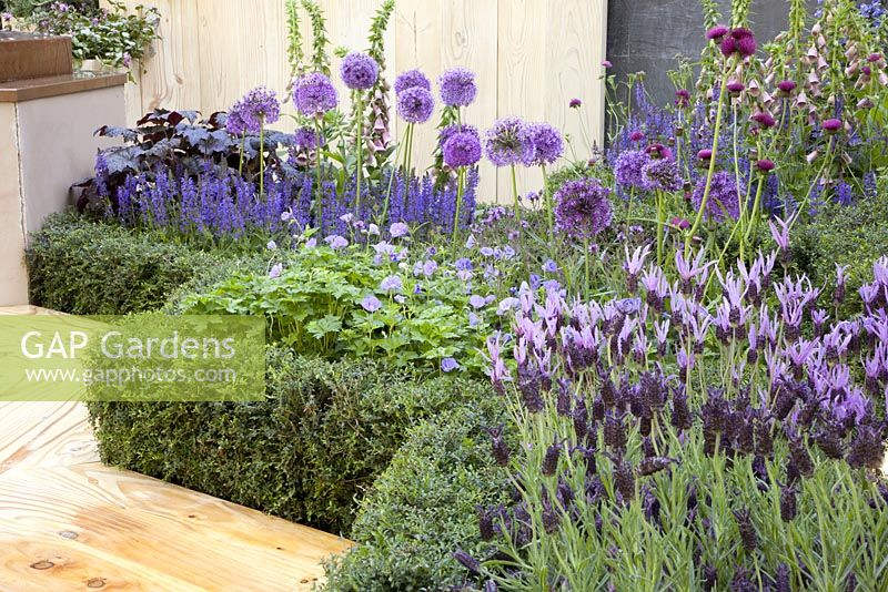 Beds of Lavandula 'Helmsdale', Allium, Digitalis purpurea f. albiflora, Salvia 'Caradonna', Anchusa azurea 'Opal' and Cirsium rivulare 'Atropurpureum' - Global Stone Bee Friendly Plants Garden, Silver medal winner at RHS Chelsea Flower Show 2010