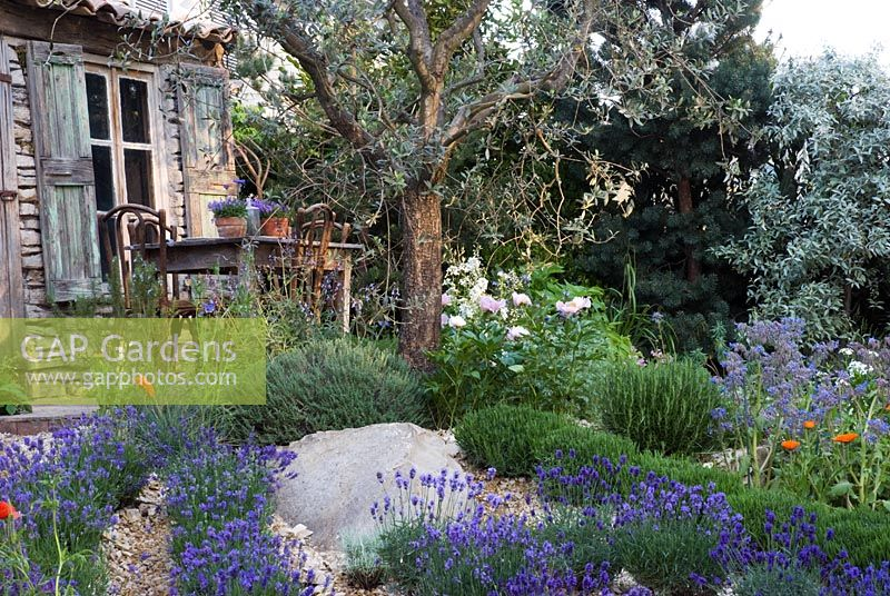 Mediterranean style garden with rows of Lavandula - Lavender under an Olive tree and Paeonia, Rosmarinus and Borage. The L'Occitane Garden, Silver medal winner at RHS Chelsea Flower Show 2010