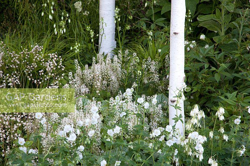GAP Gardens Betula Utilis Var jacquemontii Astrantia