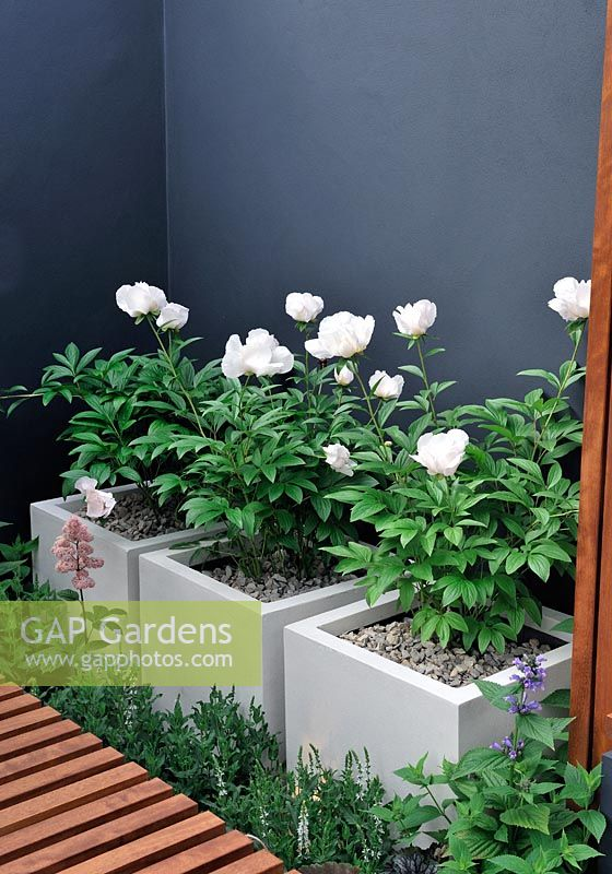 Paeonia in stone containers - The University of Worcester Garden, Silver Gilt medal winner, RHS Chelsea Flower Show 2010