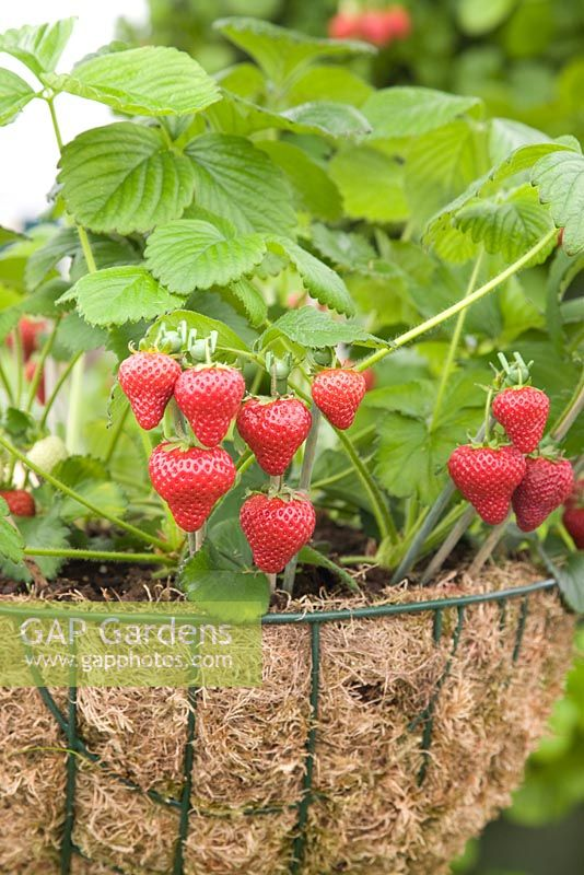 Strawberry 'Honeoye' in a hanging basket - RHS Chelsea Flower Show 2010